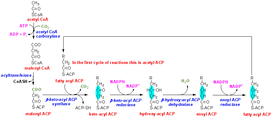 untitled documentcan you draw the complete sequence of reactions involved in fatty acid synthesis